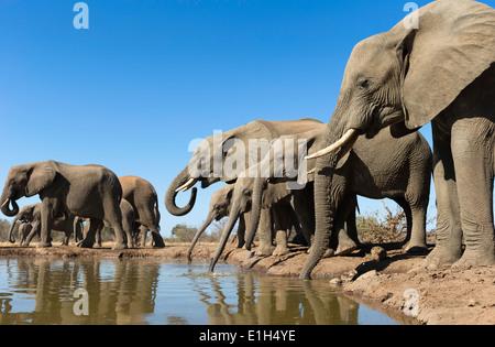 Herd of African elephants (Loxodonta africana) drinking at watering hole, Mashatu game reserve, Botswana, Africa - Stock Image