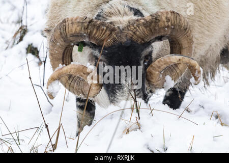 Callander, Stirlingshire, Scotland, UK. 10th Mar 2019. A meagre meal for a sheep after heavy snow falls in Callander, Stirlingshire Credit: Kay Roxby/Alamy Live News - Stock Image