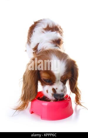 Dog eating animal food with red plastic bowl. Hungry dog photo illustration. Dog food with puppy. Cavalier king - Stock Image