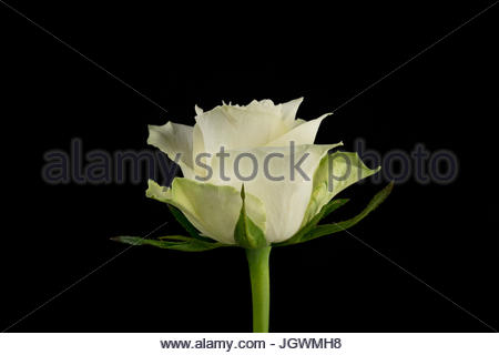 White rose black background close-up - Stock Image