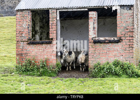 Teesdale, County Durham, UK.  13th June 2019. UK Weather.  We are not going out in that. Sheep look out of their shelter as heavy rain sweeps past the door. Credit: David Forster/Alamy Live News - Stock Image