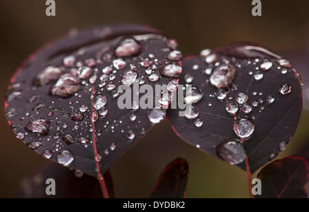 Rainsdrops on the leaves of a Smoke Bush. - Stock Image