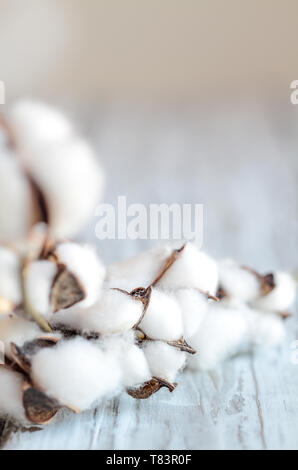 Abstract composition of cotton Boll flowers on stem. Blurred foreground and background with selective focus on center cotton boil and room for text. - Stock Image