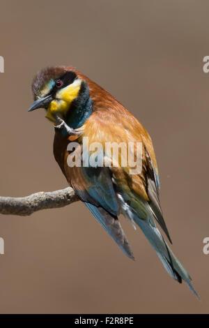 European Bee-eater preening - Stock Image