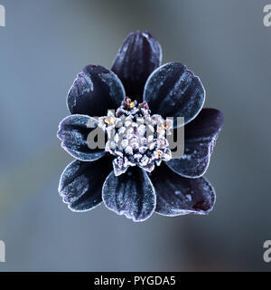 Stirlingshire, Scotland, UK - 28 October 2018: UK weather - a chocolate scented cosmos flower (cosmos atrosanguineus) beautifully frosted on a cold morning in Stirlingshire Credit: Kay Roxby/Alamy Live News - Stock Image