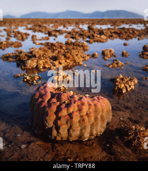 Sabah beach scene with exposed corals at low tide, Sabah, East Malaysia - Stock Image