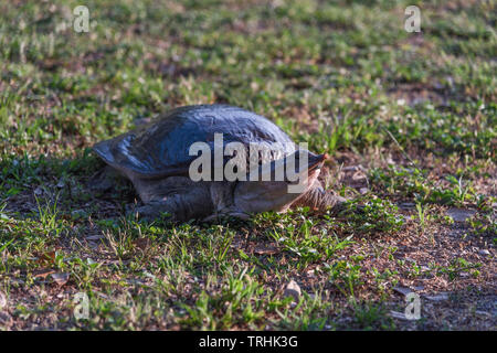 Softshell Turtle out of water Trionychidae - Stock Image