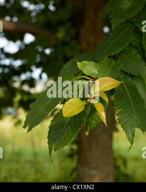 Early summer leaves emerging from darker green foliage  on Vermont tree - Stock Image