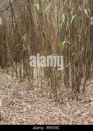 Bamboo thicket (species uncertain, might be a Fargesia sp.) with dead leaves and dead leaf litter growing in Cornwall, UK. - Stock Image