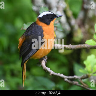Snowy-crowned robin-chat or snowy-headed robin-chat (Cossypha niveicapilla). Bwindi Impenetrable National Park, Bwindi,  Uganda. - Stock Image