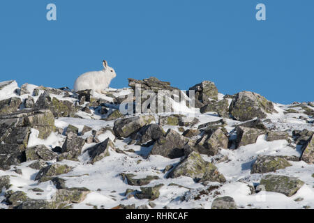 Mountain Hare - Lepus timidus - sitting among rocks on top of hill in side profile against blue sky - in the Cairngorms National Park, Scotland, UK - Stock Image