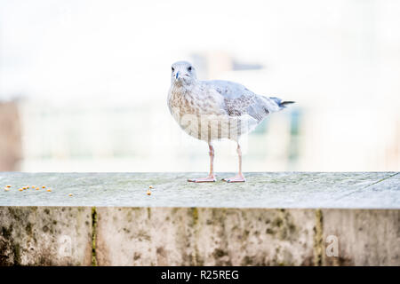 A seagull is staring at the camera. Shallow dept of field and selective focus on eye. - Stock Image