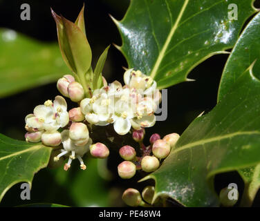 Small white male flowers on a single sex, dioecious,  holly tree (Ilex aquifolium). Bedgebury Forest, Hawkhurst, Kent, UK. - Stock Image