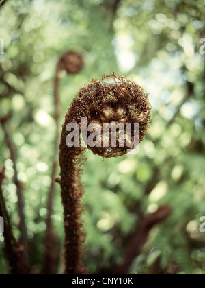 New growth: tree fern frond. - Stock Image