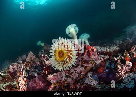 Anemones and Sunball - Stock Image