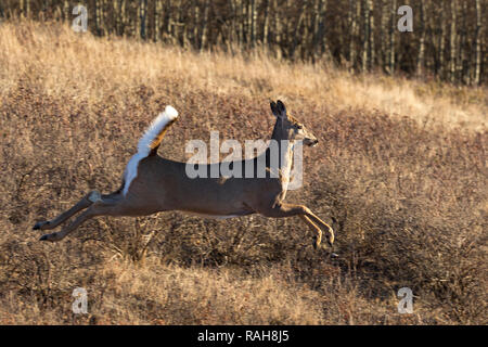 White-tailed Deer (Odocoileus virginianus) - Stock Image