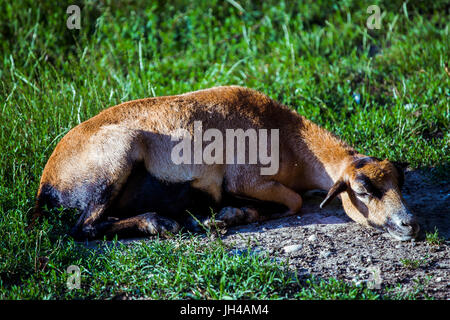 Female of Cameroon Sheep (Ovis Aries) resting on the ground. - Stock Image