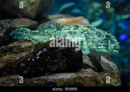 Bony Cabezon scaleless fish of the North American Pacific ocean coast on a rock in a kelp forest - Stock Image