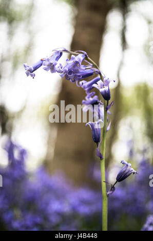 Close up view of Common Bluebells (Hyacinthoides non-scripta) in bloom underneath a tree in woodland in Spring. - Stock Image