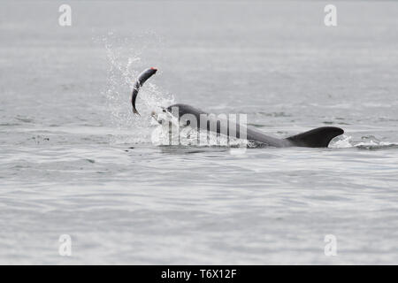 Bottlenose dolphin (Tursiops truncatus) eating a salmon in the Moray Firth, Chanonry Point, Scotland, UK - Stock Image
