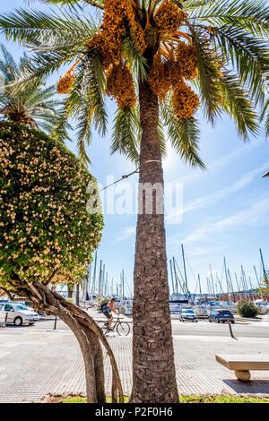 Palmtree at the port of Mallorca. Puerto de Palma, Port of Palma, Palma, Mallorca, Spain, Europe - Stock Image