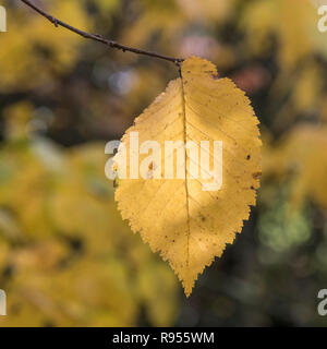 Autumnal leaf of and Elm tree - possibly English Elm / Ulmus minor, or maybe European Elm. - Stock Image