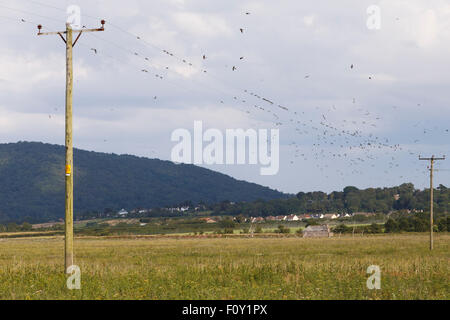 House martins gathering on electricity wires, in preparation for migration. - Stock Image
