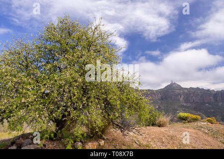 Almond tree and Roque Nublo on Gran Canaria, Canary Islands - Stock Image