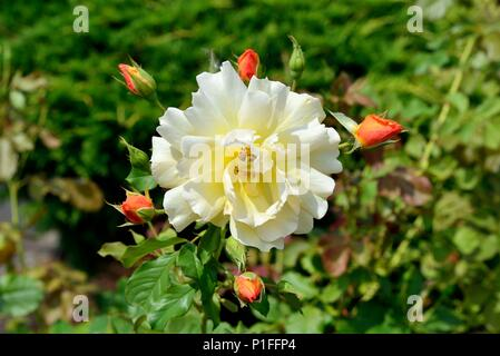 Autumn Sunset Roses, Apricot gold clusters, rich fragrance, Portland, OR 170827_68053 - Stock Image