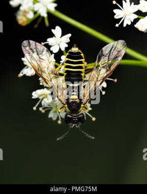 Dorsal view of Tenthredo sp. Sawfly perched on plant. Tipperary, Ireland - Stock Image