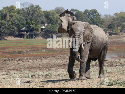 Solitary African Bush Elephants prepares to charge, South Luangwa, Zambia - Stock Image