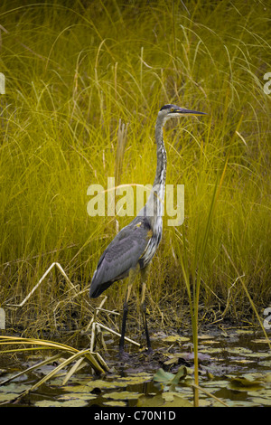 Great Blue Heron - Stock Image