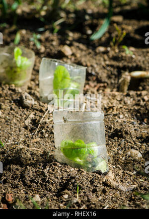 Young Lettuce, Lactuca sativa, protected by plastic cups, growing in vegetable garden - Stock Image