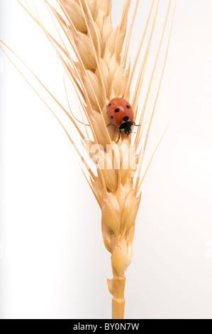 ladybug on a wheat ear isolated on white - Stock Image