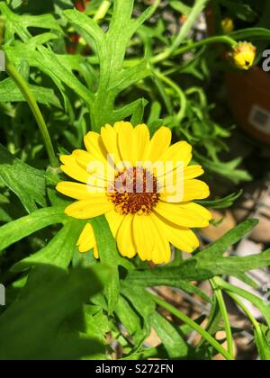 argyranthemum grandaisy yellow flower - Stock Image