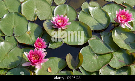 Water lilies Nymphaeaceae with pink flowers - Stock Image