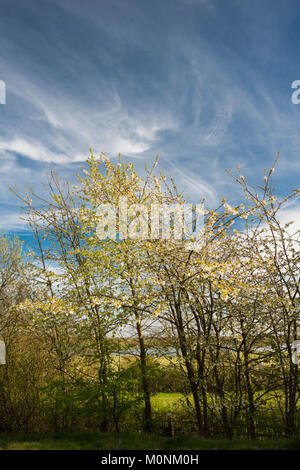 Wild cherry tree in flower in April with spectacular cloud formations in background, Peterborough, Cambridgeshire, - Stock Image