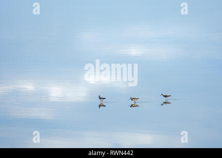 Three spotted sand pipers walk in a row in a still reflective body of water. - Stock Image