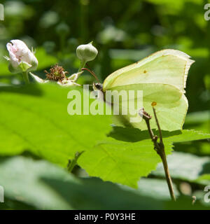 Surrey, UK. 10th June 2018. UK Weather: Butterflies on the North Downs, Surrey. A Brimstone Butterfly Gonepteryx rhamni rests on a Bramble flower in a copse on the North Downs at Colley Hill, Reigate, Surrey. 1540hrs Sunday 10th June 2018. Photo ©Lindsay Constable / Alamy Live News - Stock Image