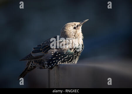 Starling basking in evening light - Stock Image