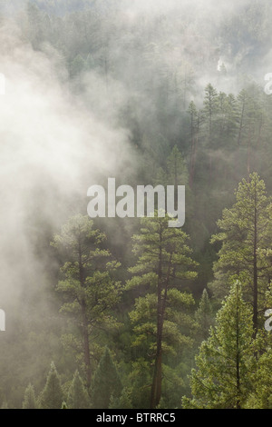 Misty forest, ponderosa pines & douglas fir in Walnut Canyon, near Sandys Canyon, Coconino National Forest, - Stock Image