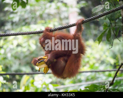 Bornean Orangutan (Pongo pygmaeus) at Orangutan Rehabilitation Centre, Sepilok, Sabah, Borneo, Malaysia eating a - Stock Image