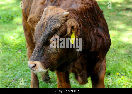 The young cow's head is visible from the front - Stock Image