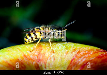 Common wasp (Vespula vulgaris) on an apple (malus domestica). - Stock Image