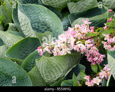 Large blue grey leaves of Hosta 'Abiqua Drinking Gourd' contrast with the pink and white flowers of , Deutzia 'Iris Alford' in an early summer combina - Stock Image