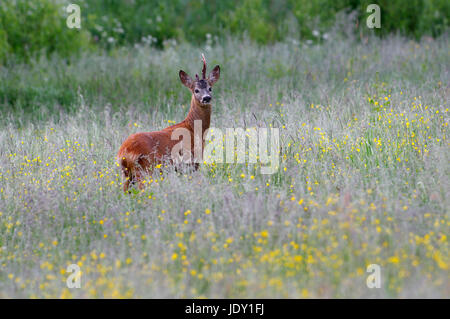 Roe deer buck (Capreolus capreolus) in Alam_Pedja, Estonia, June 2017 - Stock Image