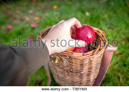 Hand picked organic apples in a basket - Stock Image