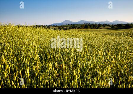 Oat Field near Seaforde in County Down - Stock Image