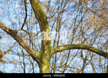 Plus shaped treetrunk and branches - Stock Image