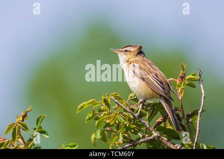 Closeup of a Sedge Warbler bird, Acrocephalus schoenobaenus, singing to attract a female during breeding season in Springtime - Stock Image
